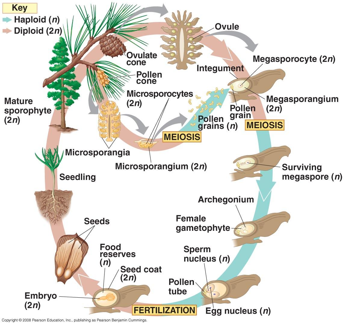 How do Gymnosperms have sexual reproduction? – Loving Biology